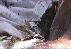 Imagen El pene es lo primero que se comen los gusanos