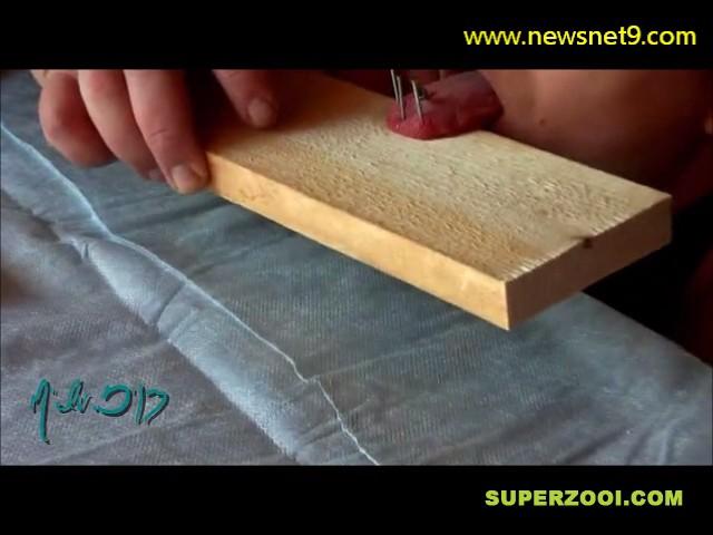 Nails into tongue SUPERZOOI thumb12196 - Lengua clavada en un tablón de madera