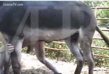 burro gay zoofilia miniatura