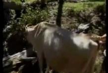 La vaca le chupa la polla miniatura