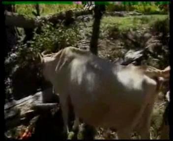 La vaca le chupa la polla y después se la folla