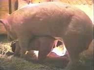 Mujer follando con un cerdo enorme