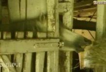 caballo-lamiendo-cono miniatura