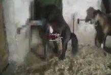 Sexo bestia gay con caballo