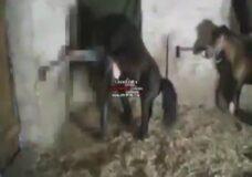 Imagen Sexo bestia gay con caballo
