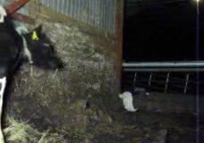 Imagen Granjero se folla a una vaca