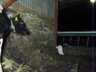Granjero se folla a una vaca