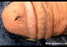 Imagen Mosquito chupando sangre de una polla