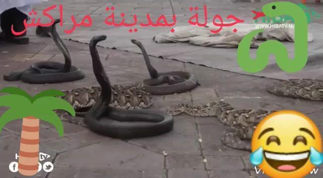 Pollas largas como serpientes cobra